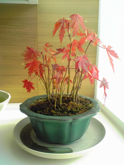 もみじ盆栽の育て方 剪定や水やり