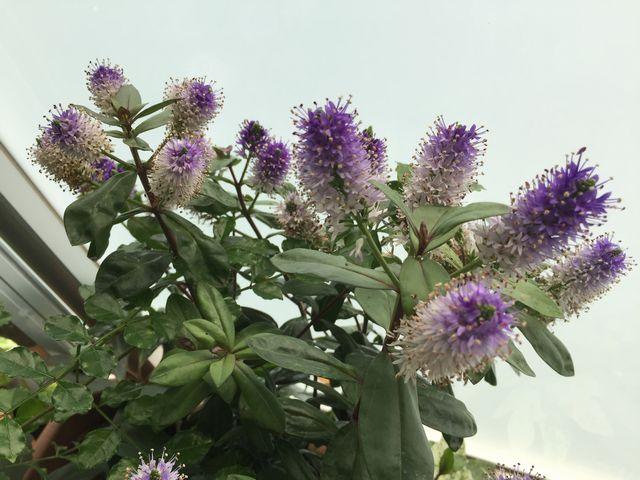 ベロニカグレースの花