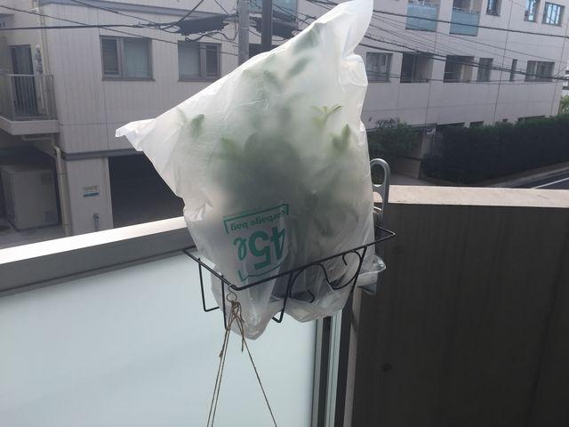 ガジュマル盆栽に袋をかぶせる