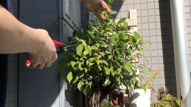 ガジュマル盆栽一番高いところの剪定