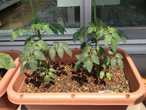 ミニトマトをプランターで栽培