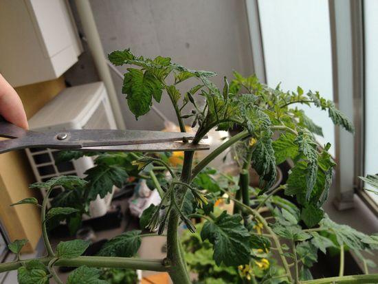 ミニトマトの摘心