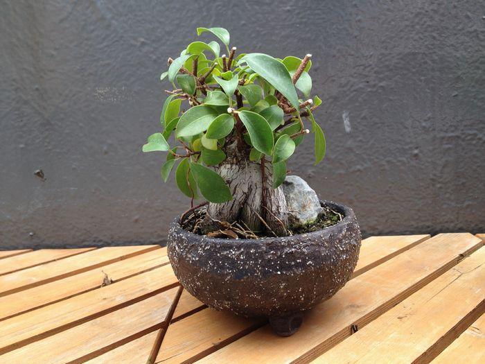 ガジュマル盆栽の剪定