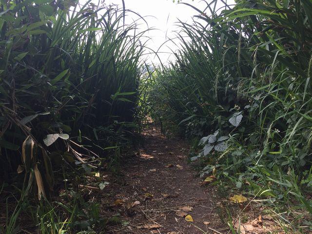 菖蒲のトンネル