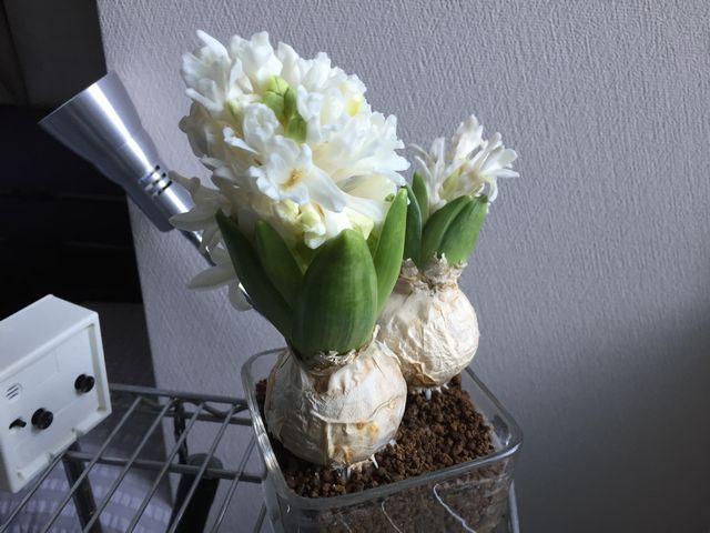 ヒアシンスの花