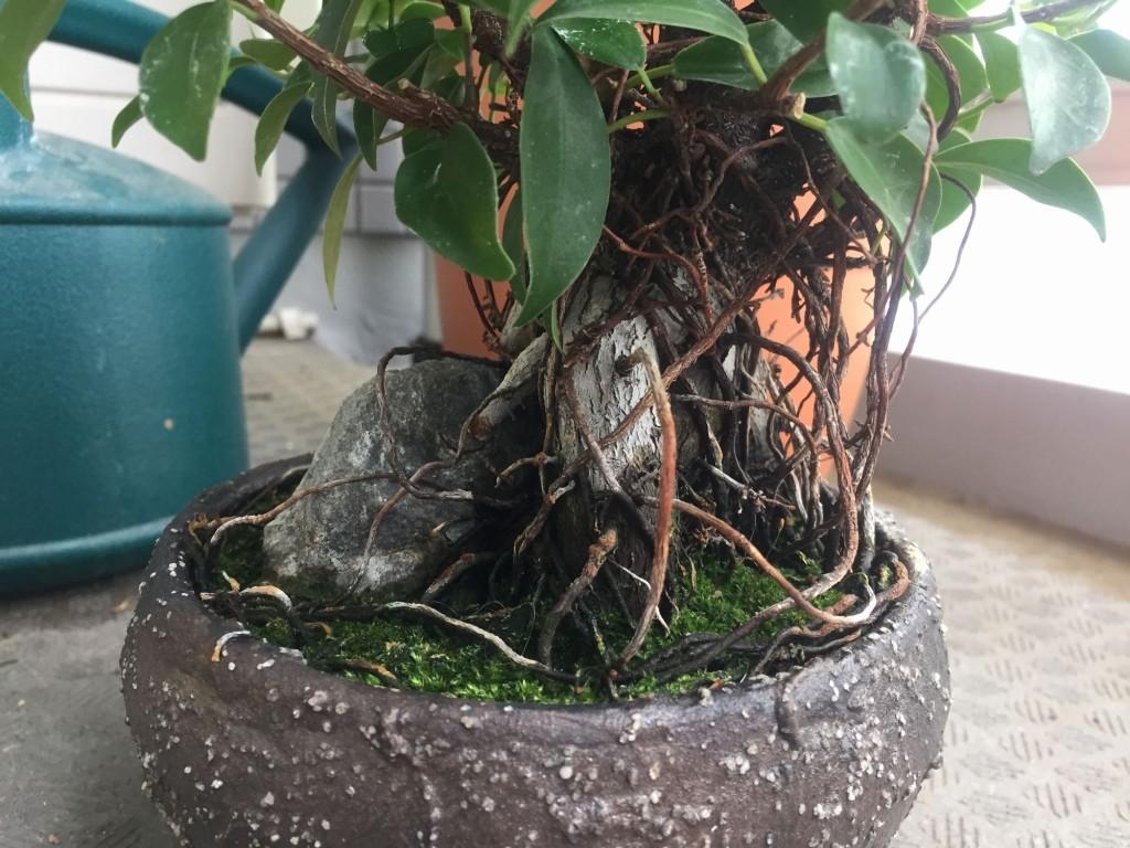 ガジュマル盆栽と気根