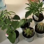 100均観葉植物