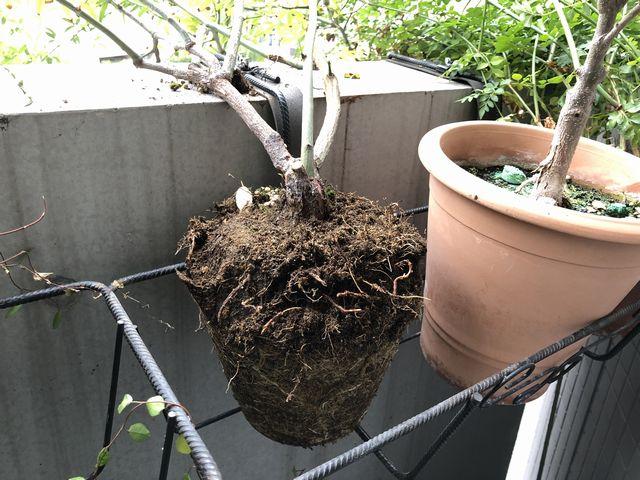モッコウバラ植え替え