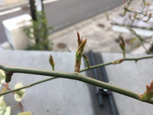 モッコウバラの新芽