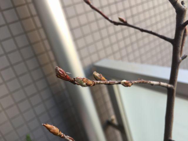ジューンベリーの芽