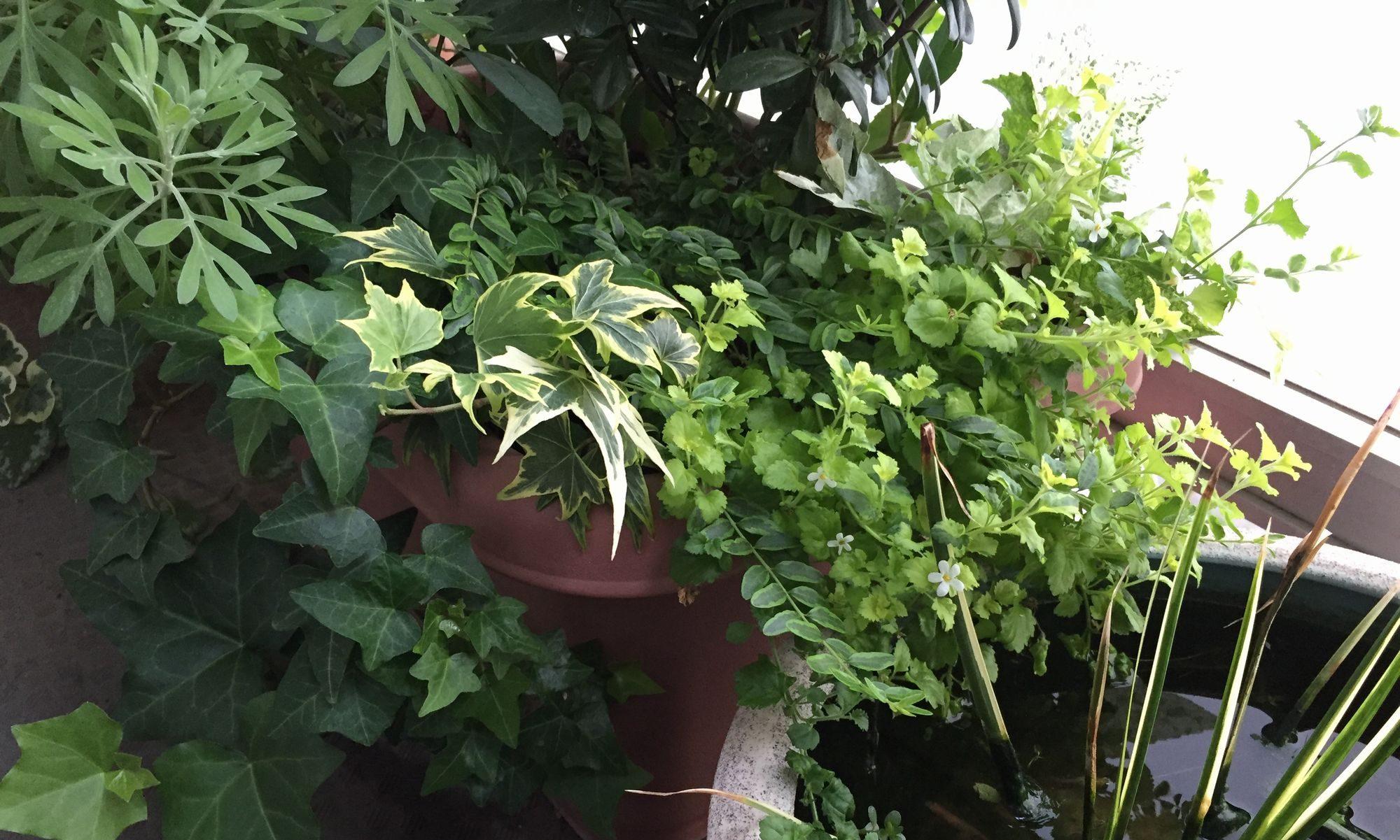 観葉植物ブログ緑組 植物の育て方