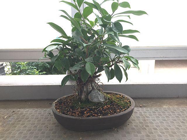 ガジュマル盆栽 Banyan bonsai
