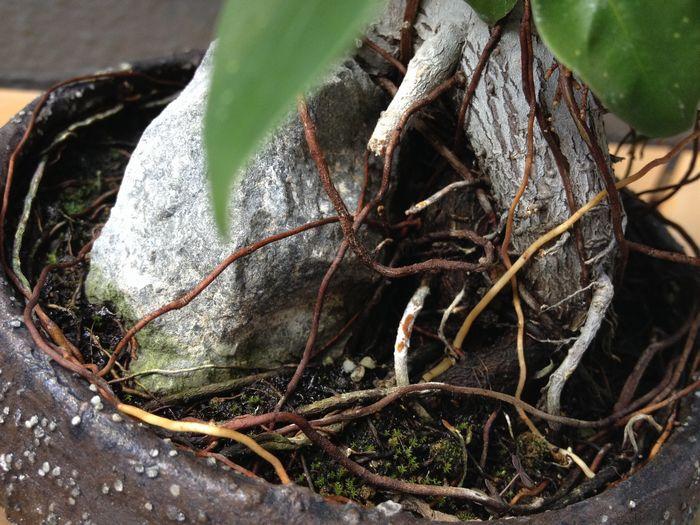 ガジュマル盆栽の気根