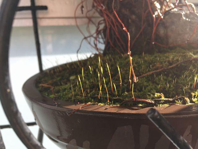 苔の胞子嚢