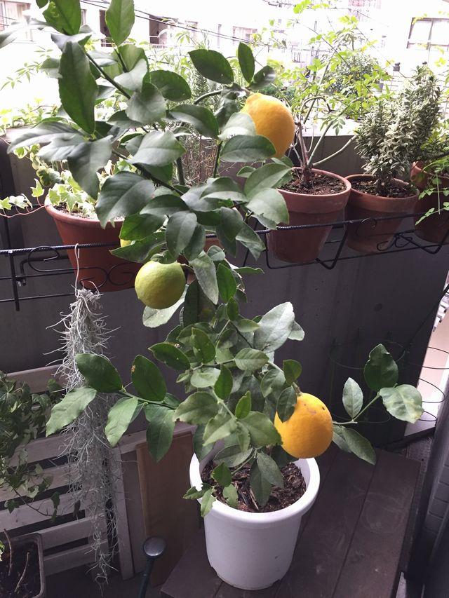 レモンの実