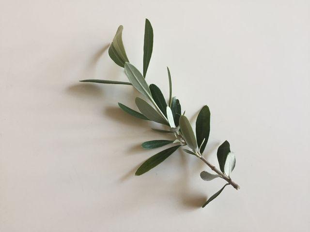オリーブの折れた枝