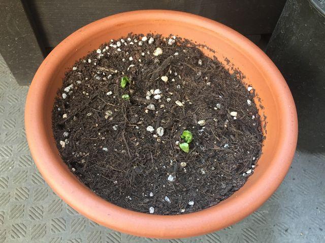 ラナンキュラスの芽