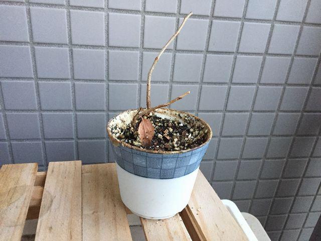 冬の桜盆栽