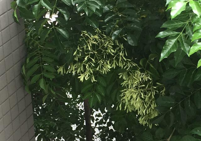 シマトネリコの種