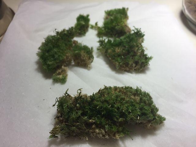 テラリムの苔