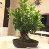 気根も増える!ガジュマル盆栽を育てる方法