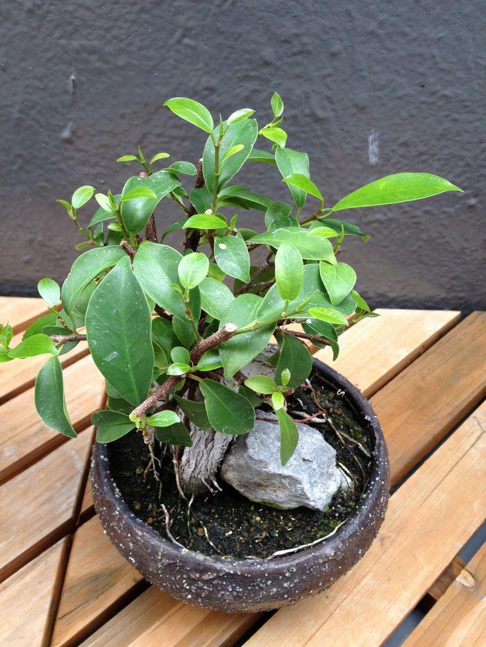 ガジュマル盆栽の若葉